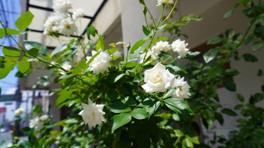 白い薔薇の画像