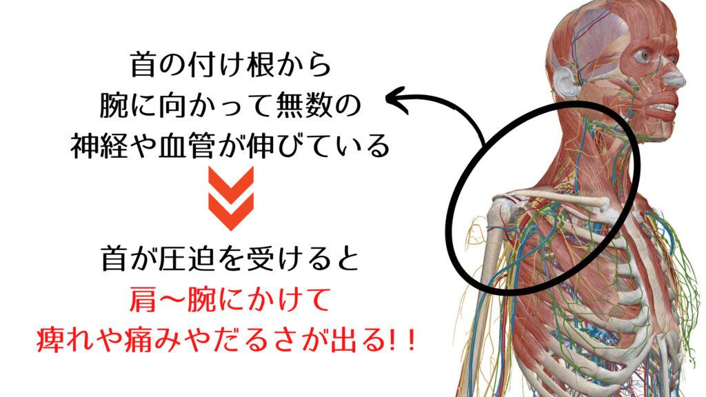 頚椎から伸びる神経や血管の画像
